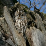 060325 tawny owl