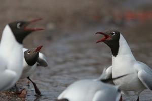 060408 black-headed gull 4
